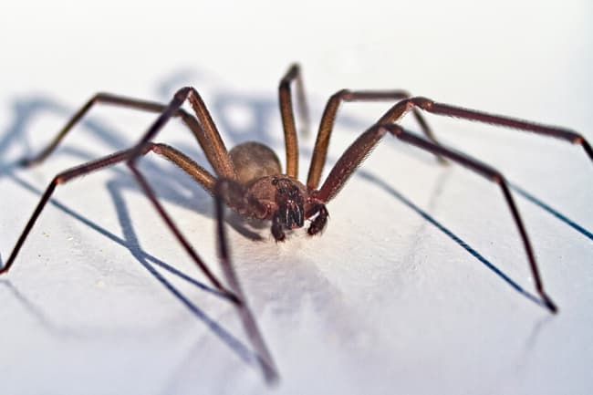 photo of brown recluse spider