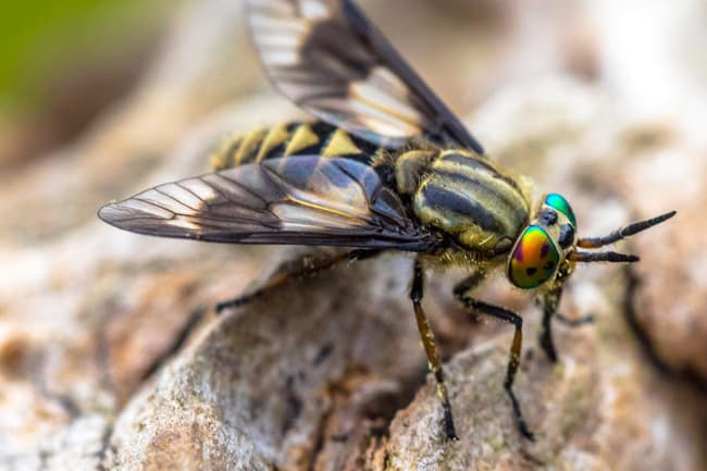 photo of deerfly