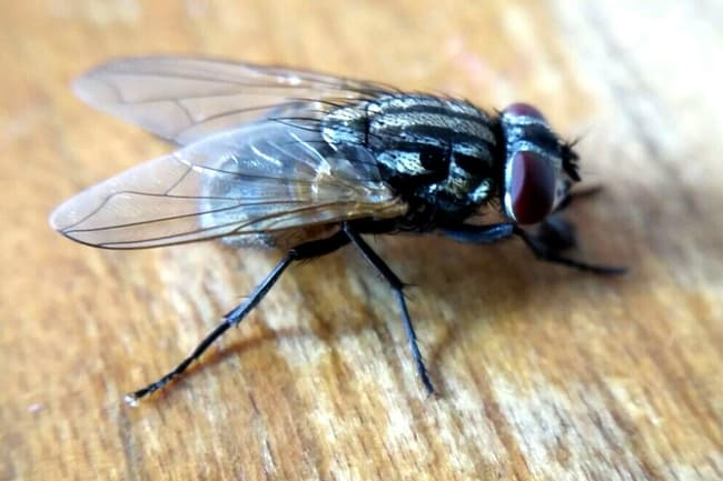 photo of houseflies
