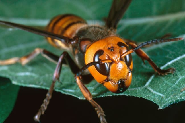 photo of giant asian hornet