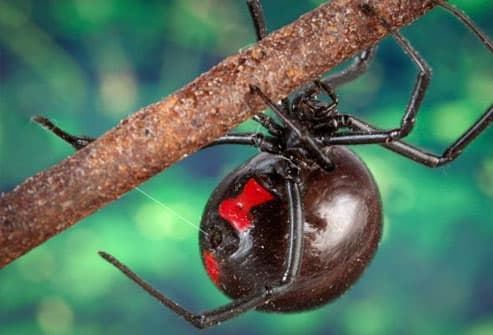 Black widow spider on tree branch
