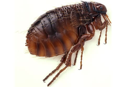 Side view of cat flea