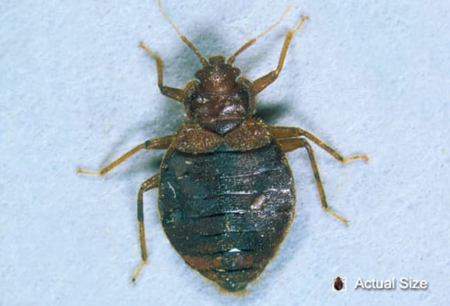 Picture Of Bedbugs