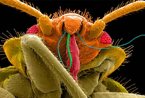 microscopic image of bedbug