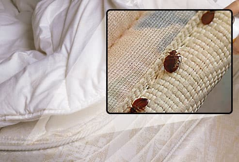 Bedbugs marching on mattress seam