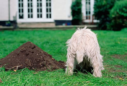 terrier digging in garden, rear view