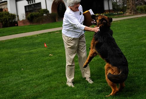 German shepherd jumping up on woman