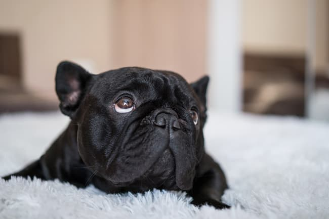 photo of french bulldog on shag carpet