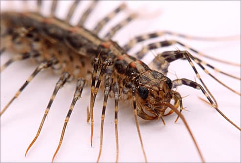 centipede. Pictures of Bugs That Live in Your House
