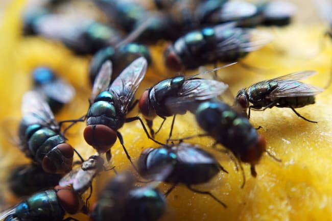 flies on mango