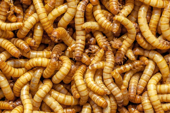 mealworms close up