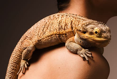 iguana on shoulder