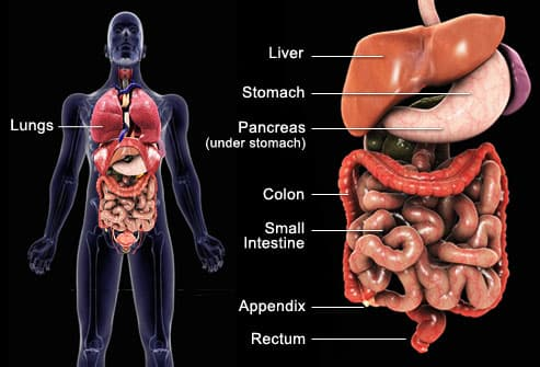 Medical illustration of digestive tract