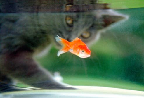 Cat Staring At Fish In Tank