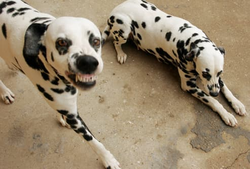 Dalmatian Snarling And Showing Teeth
