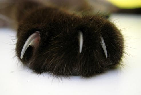 close up of cat paw with claws
