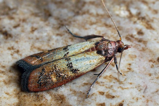 photo of indianmeal moth
