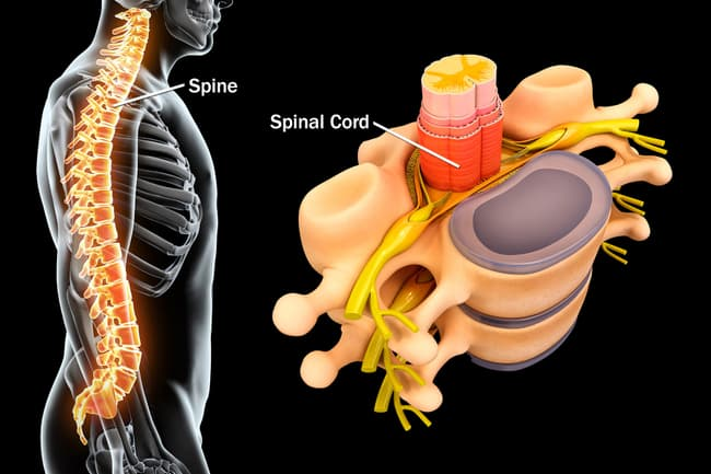 1800ss_science_source_rf_spinal_anatomy
