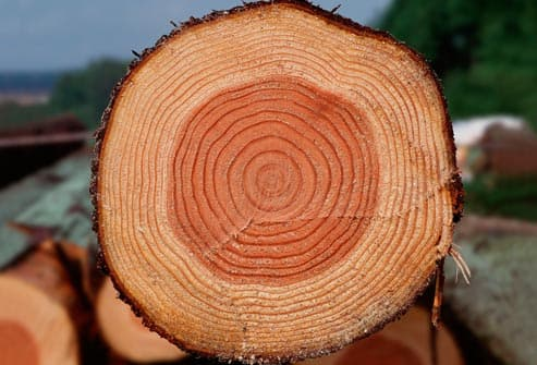 cut log showing tree rings
