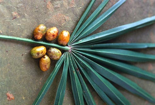 palmetto leaf and berries