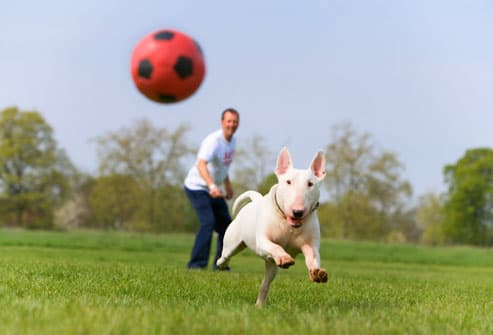 English Bull Terrier Chasing Soccer Ball
