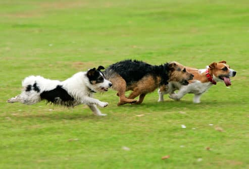 Terriers Running In Park