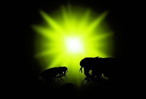 fleas jumping toward green light
