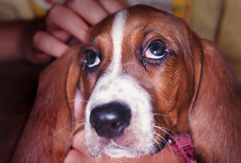 sad looking basset hound puppy