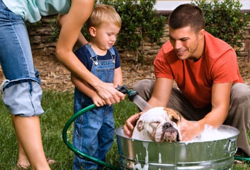 family giving bulldog a bath outside