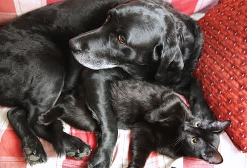 black cat and labrador retriever cuddling on sofa