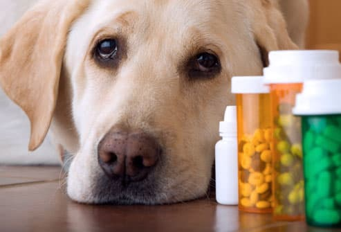 labrador dog lying next to pills and medication