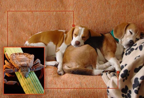 beagles sleeping on sofa with dog tick