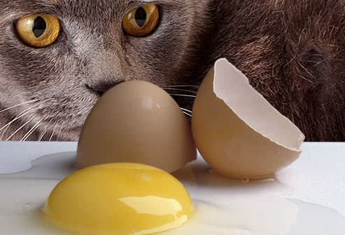 Cat gazing at raw broken egg