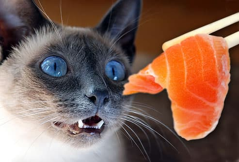 Cat gazing hungrily at salmon sushi