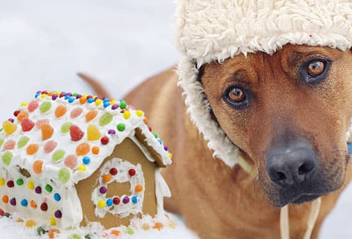 Sad dog gazing at gingerbread house