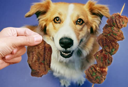 Dog being treated to grilled lean meat