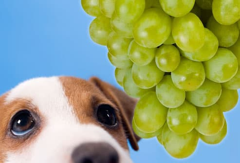 Sad dog longing for grapes