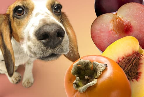 Sad dog and persimmon, peach and plum