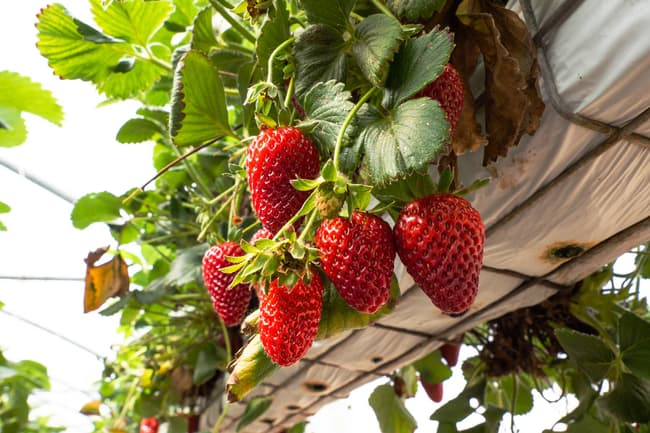 photo of strawberries