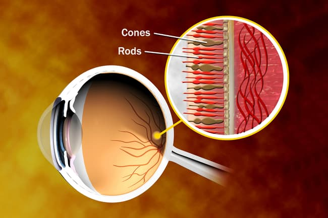 eye anatomy rods cones