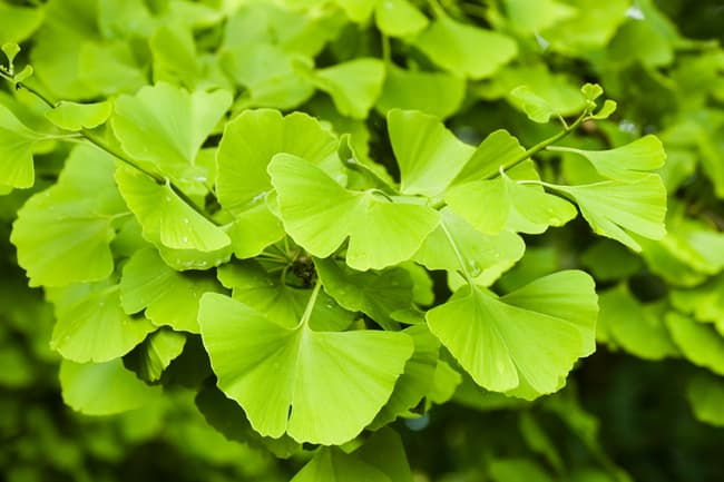 photo of ginkgo leaves