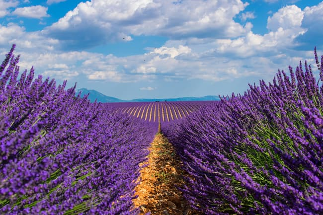 photo of lavender