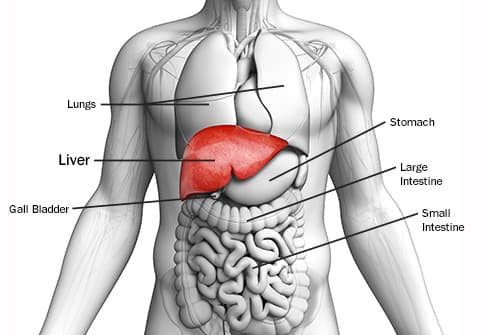 liver anatomy illustration