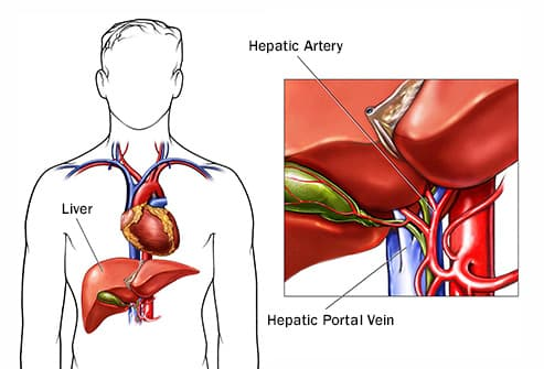 hepatic vein and artery