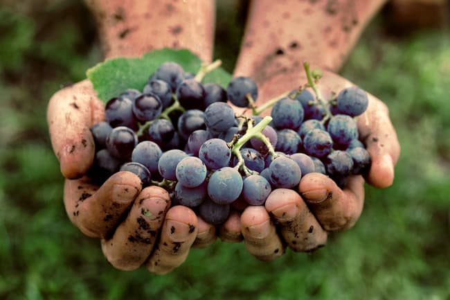 photo of hand holding grapes