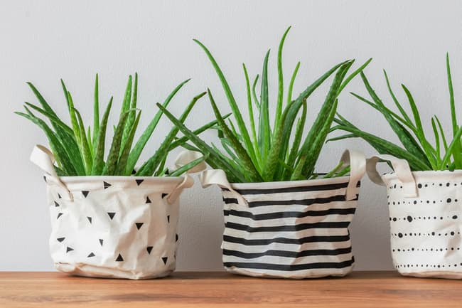 photo of aloe vera plants