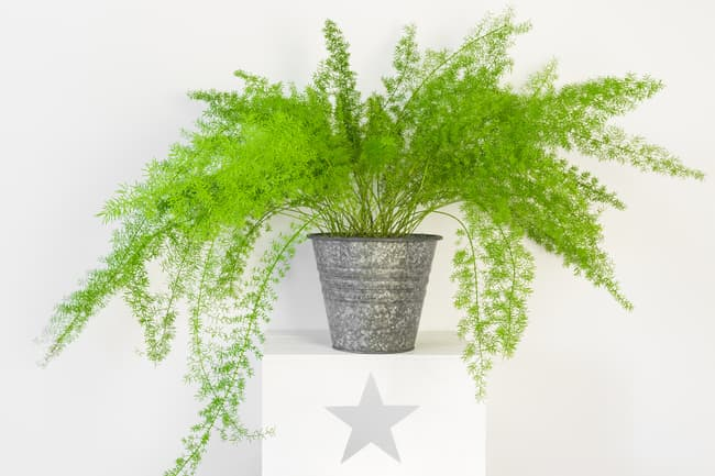 photo of asparagus fern