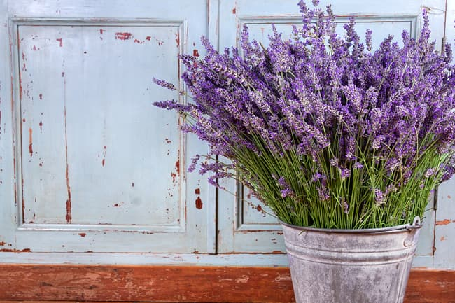 photo of lavender plant