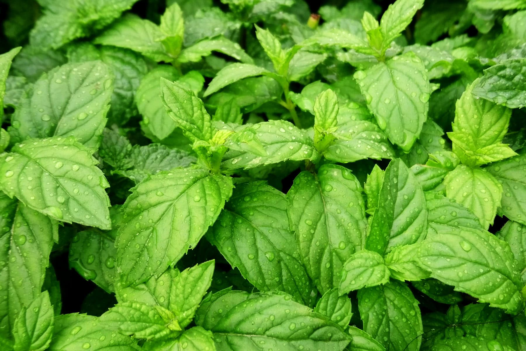 health benefits of peppermint Peppermint Cocoa