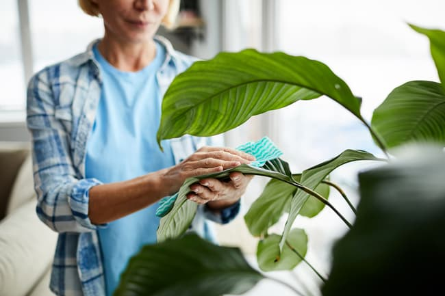 photo of woman cleaning plant